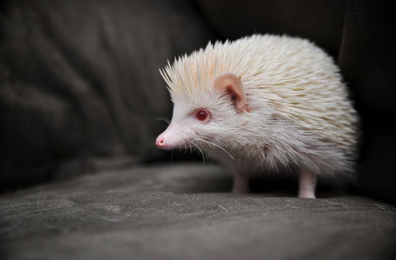Hérisson albinos