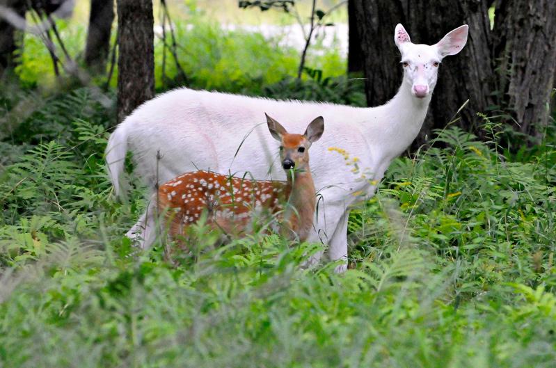 Cerf et son faon albinos