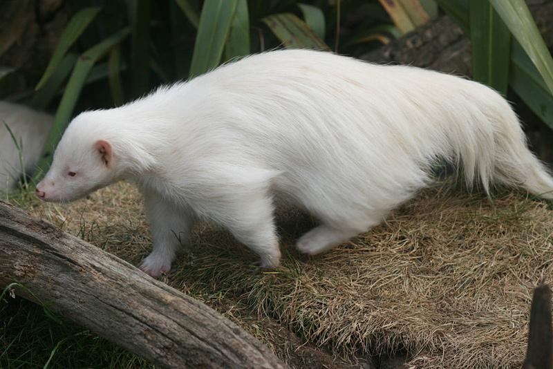 Mouffette albinos