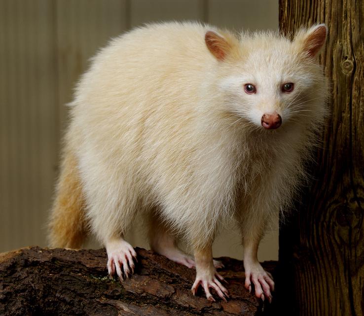Raton laveur albinos