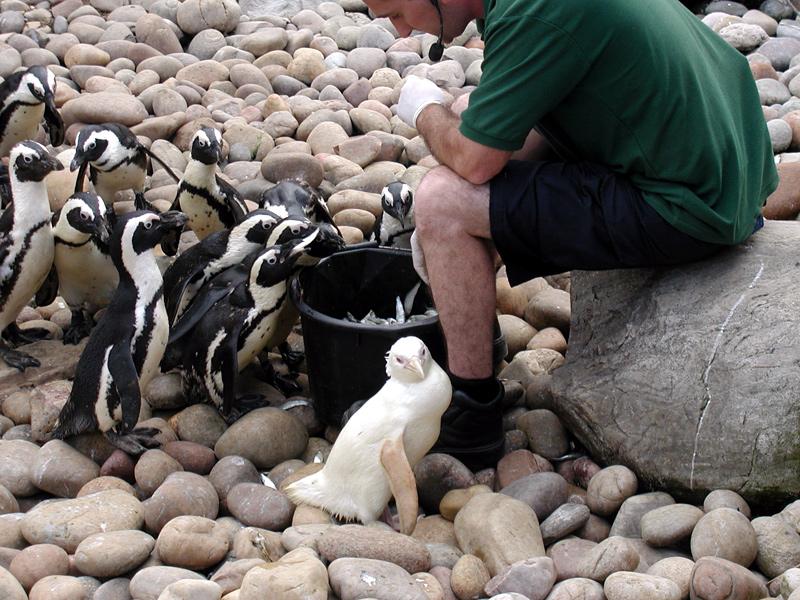 Pingouin albinos