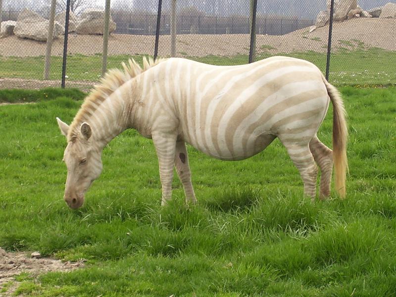 Zèbre albinos