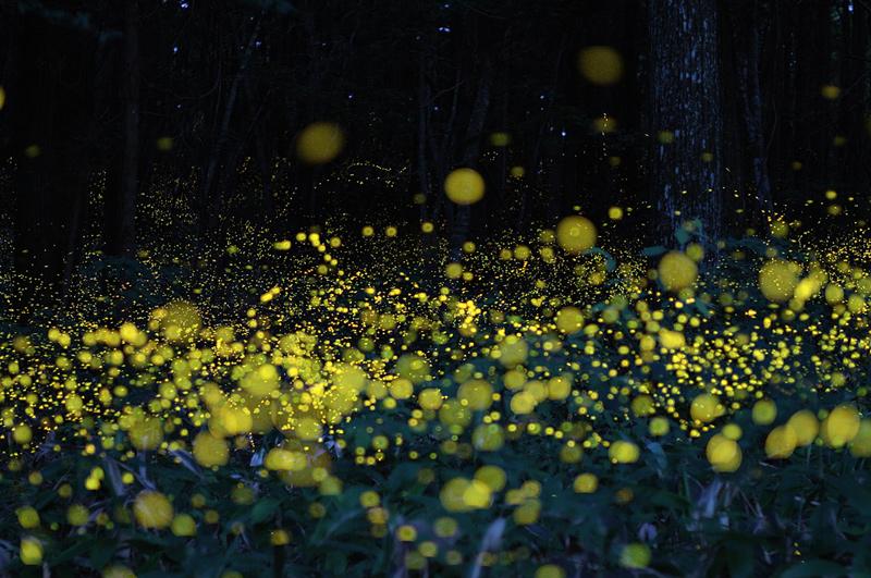 Photographies longue pose de lucioles