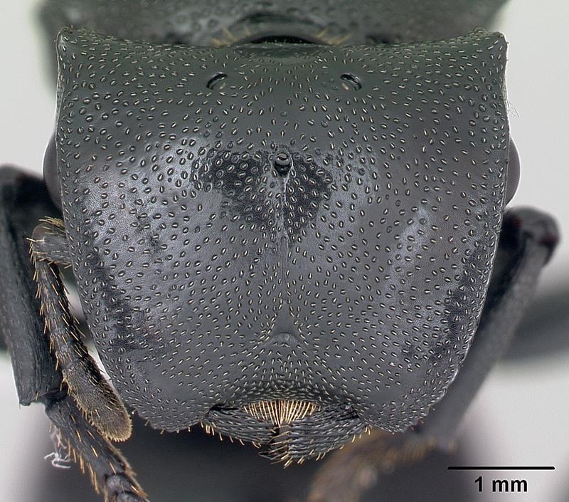 fourmi qui plane dans les airs