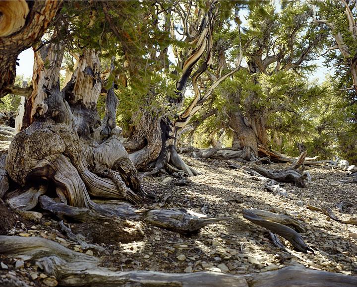 plus vieux végétaux du monde