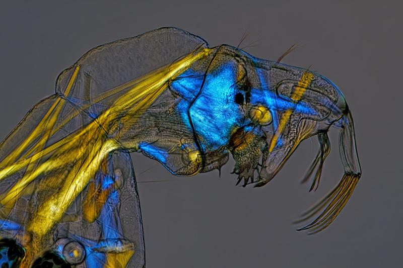 image macro de larve de moucheron
