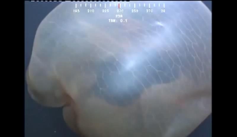 méduse Deepstaria Enigmatica