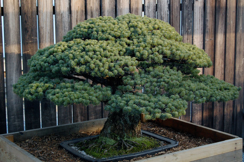 Un bonsaï de 388 ans qui a survécu à Hiroshima