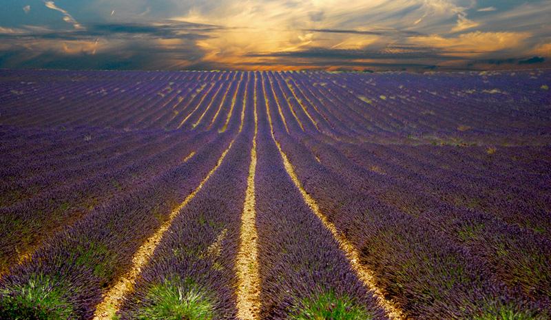 Coucher de soleil sur champs de lavande en Provence