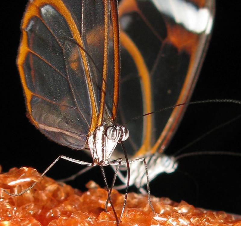 papillon aux ailes transparentes