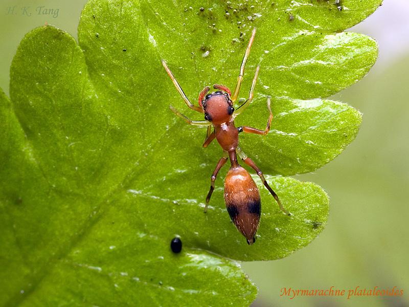 araignée qui ressemble à une fourmi