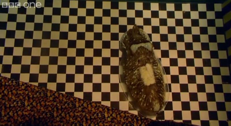 camouflage de seiche