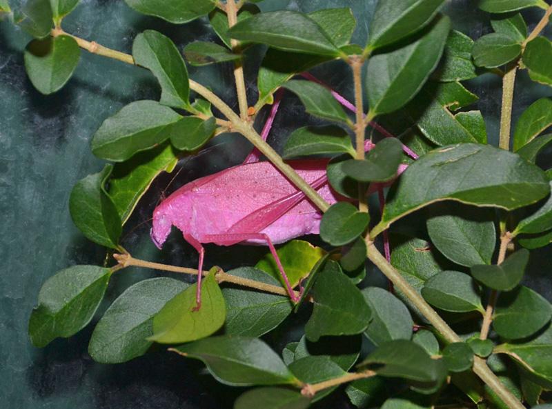 sauterelle rose