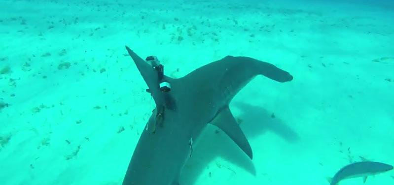 requin-marteau