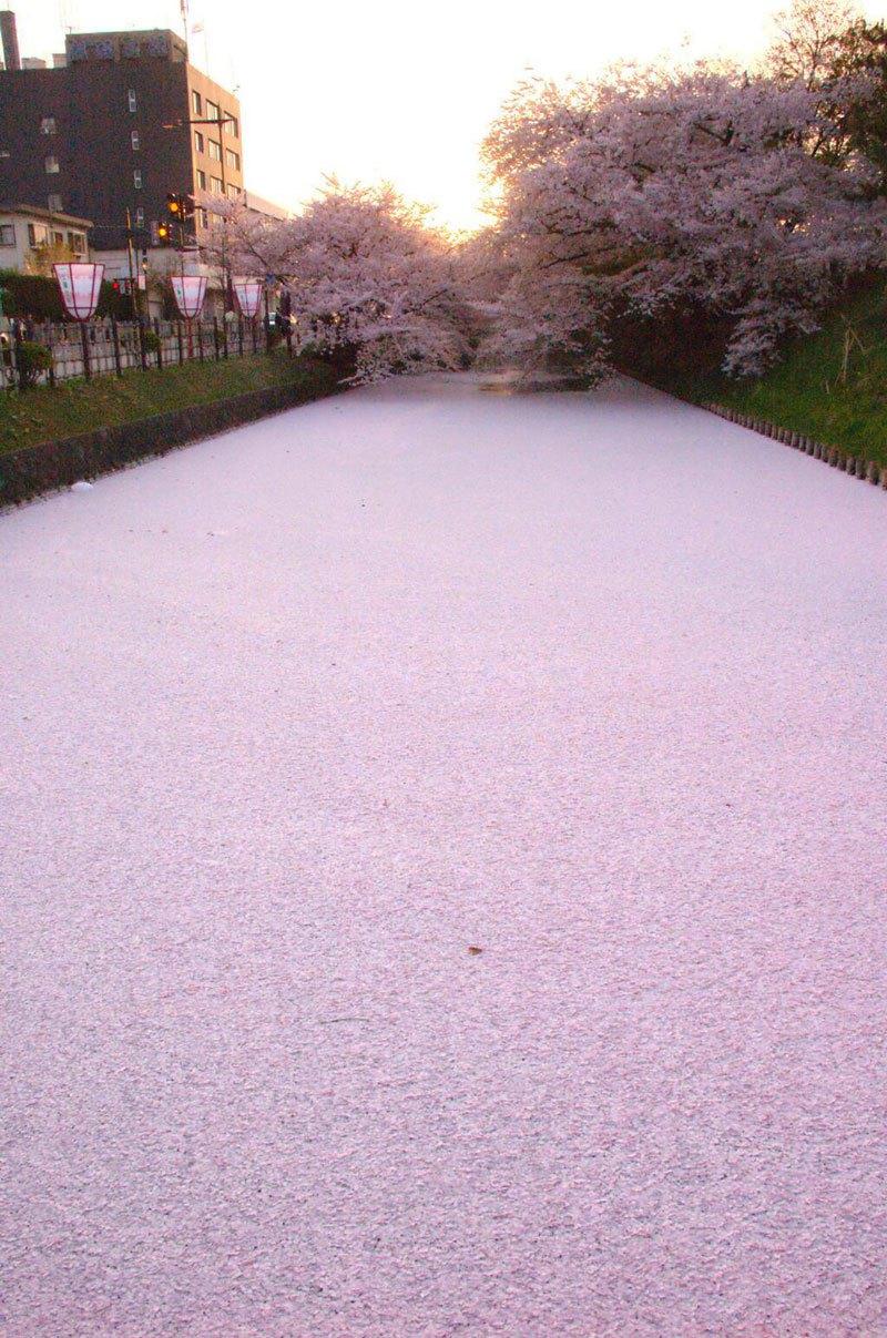 pétales de fleurs de cerisiers