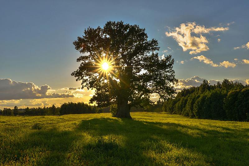 Le plus vieil arbre d'Estonie, le chêne Tamme-Lauri
