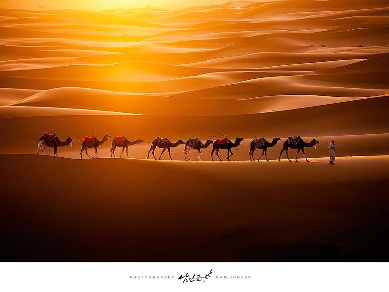 Groupe de chameaux traversant le Sahara