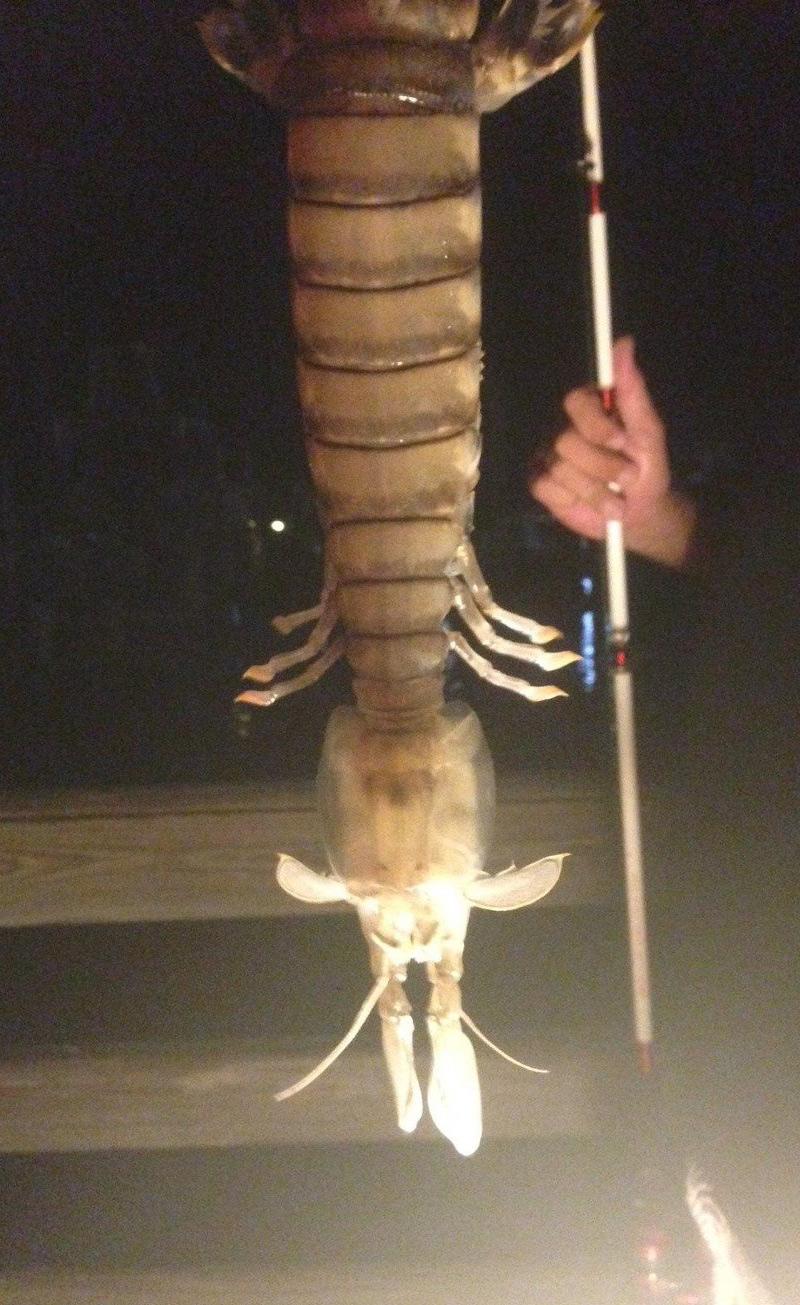 Crevette-mante géante