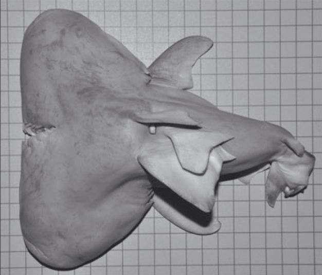 requin taureau à deux têtes
