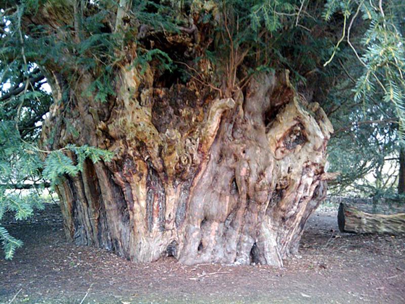 arbre de 2500 ans en Angleterre