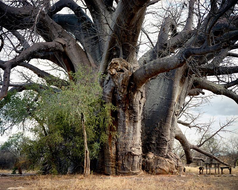 plus vieux végétal du monde