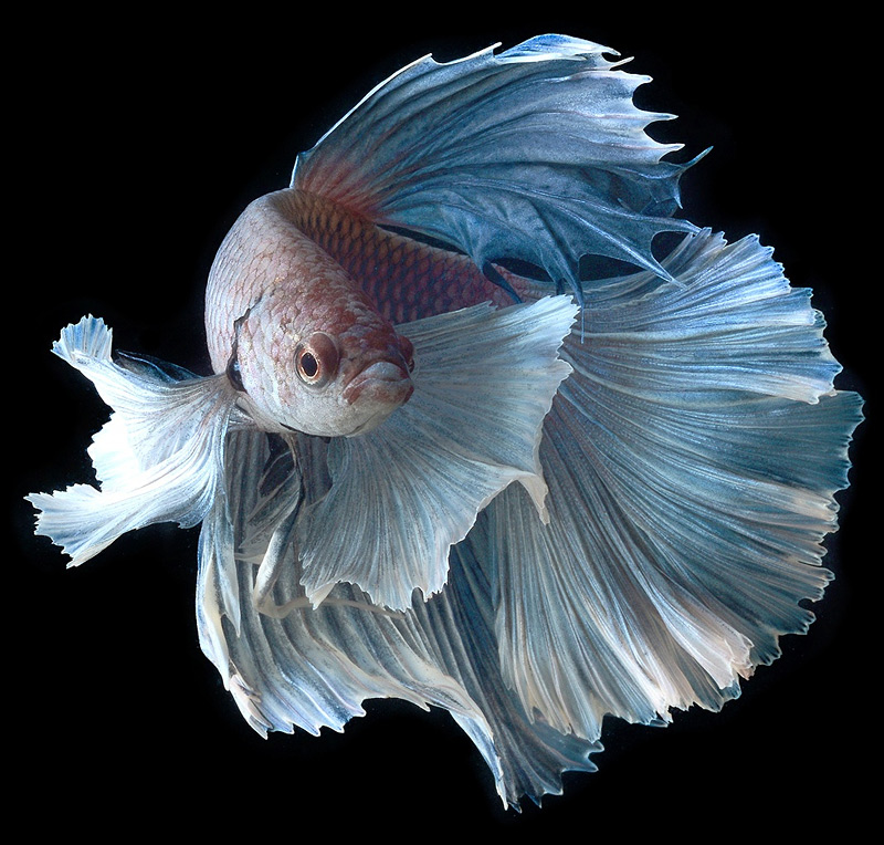 poisson combattant en gros plan