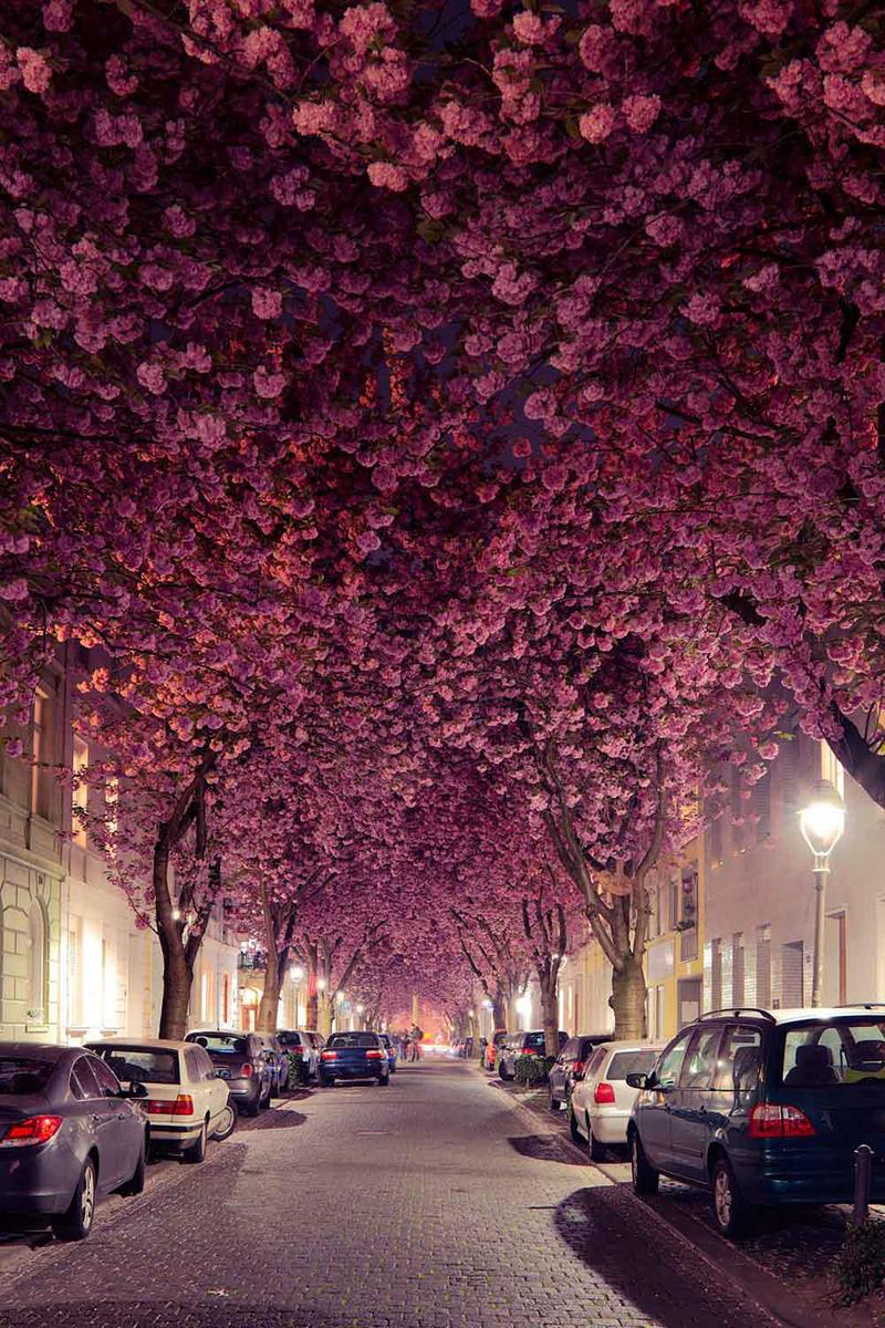 Cerisiers en fleur dans une rue de Bonn en Allemagne