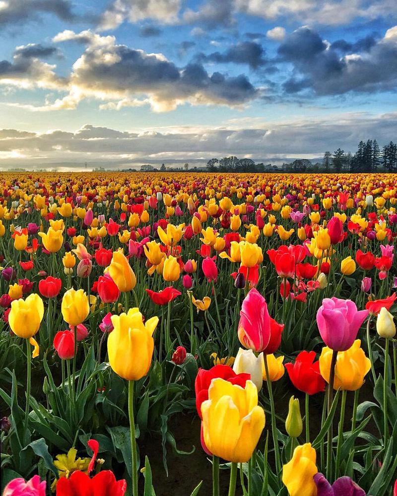 champ de tulipes dans l'Oregon
