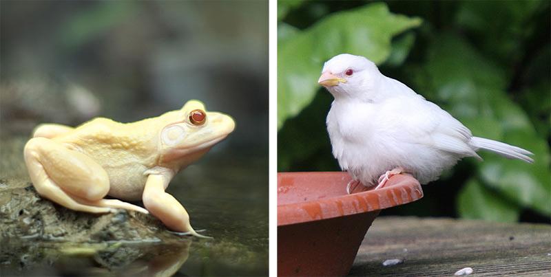Grenouille albinos
