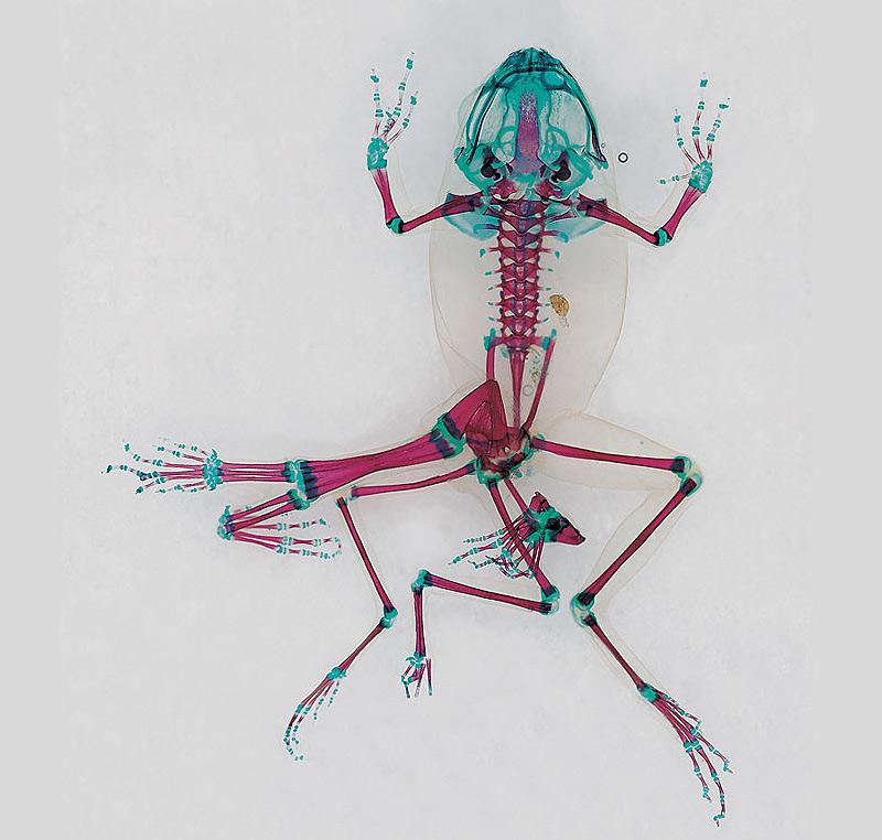 grenouille scannée