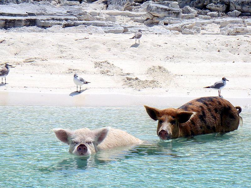 Pig Island ou l'île aux verrats aux Bahamas