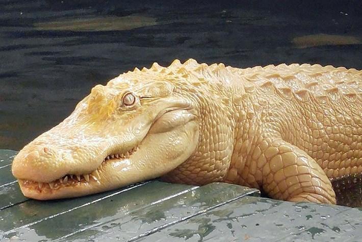 Alligator albinos à Gatorland