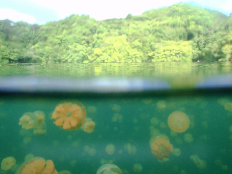 lac marin Jellyfish Lake