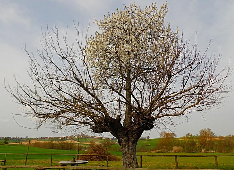 arbre double à Casorzo
