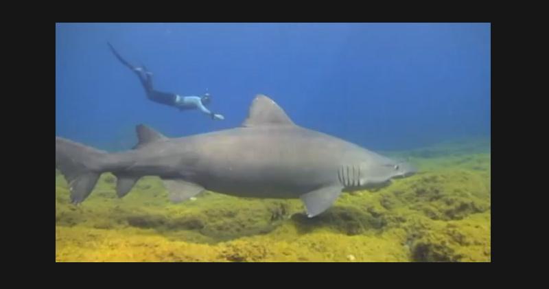 Nage avec un requin taureau