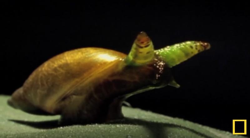 ver parasite de l'escargot