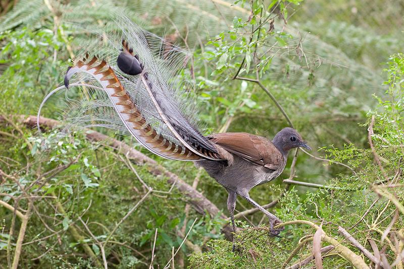 oiseau lyre, imitateur