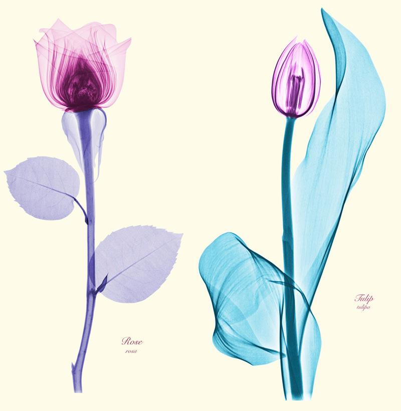 fleur aux rayons X
